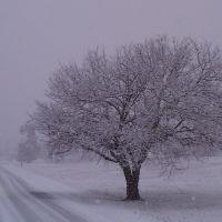 Tree, Рингголд