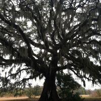Oak Tree, Тандерболт