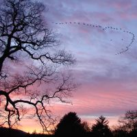 fifty-five Canada Geese in V formation fly by filigree trees in Franklin ... © All Rights Reserved, Франклин