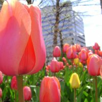 Courthouse Tulips in the Sun, Чарльстон