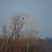 This large eagle watches from a very high perch., Вуд Ривер
