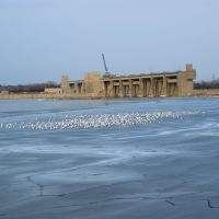Hundreds of gulls gather near the Melvin Price Locks and Dam on the icy Alton Slough, Вуд Ривер