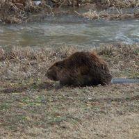 Illinois beaver, Зейглер