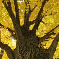 Maple Tree, Марк