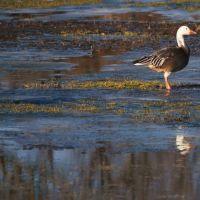 Albino goose, Норт Парк