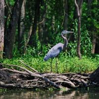 Great Blue Heron at Skokie Lagoon, Нортфилд