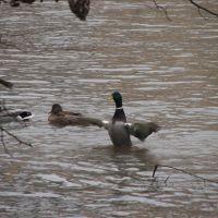 Ducks on Des Plains, Риверсид