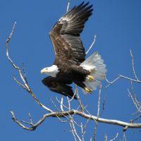 Bald Eagle Taking Off, Роксана