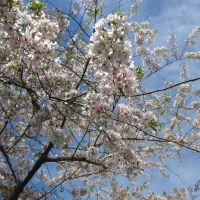 Blue skies viewed through the bright white Japanese cherry tree in bloom, Скоки