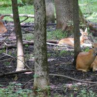 Deer in Busey Woods, Урбана