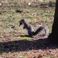 Squirrel with Nut at Crystal Lake Park - Urbana, Illinois, Урбана