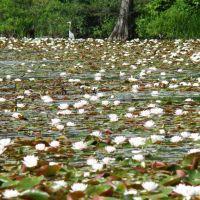 DSC01018n Water Lilies 6/10/07 - W view, Брук