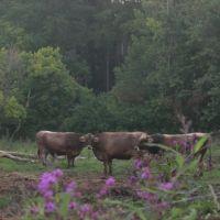 Cows at Traders Point, Гарретт