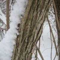 Honeysuckle bark -- Closeup, Мадисон