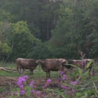 Cows at Traders Point, Счерервилл