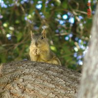 squirrel 2004 alhambra california, Альгамбра