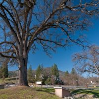 One of many Oak Trees in Oakhurst, 3/2011, Антиох