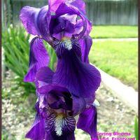 Spring Bloom, Бакерсфилд