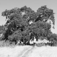 Big Oak Tree, Вакавилл