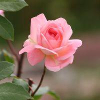 Rose in My Garden, Вестминстер