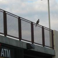 Hawk in the city., Дауни