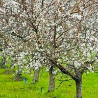 Almond Trees, Modesto, Calif., Дель-Ри