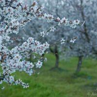Almond Orchard, Дель-Ри