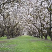 Almond Orchard In Bloom, Дель-Ри