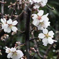 Almonds, Ист-Портервилл