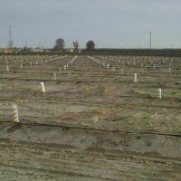 Almond Planting, Карутерс