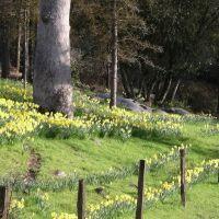 Harrys Daffodils, Кипресс