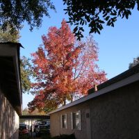 Fall Foliage, Prescott Pointe Apts., Clovis, CA, NOV05, Кловис