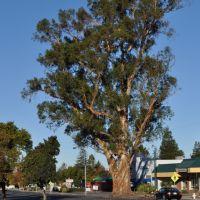 Clayton Road Eucalyptus, Конкорд