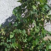 Green Beans, Ла-Мирада