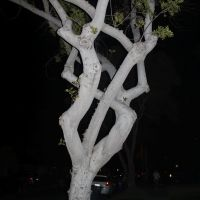 Twisty Tree, Лейквуд
