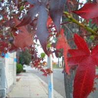 Autumn Colours at El Camino Real, Los Altos, 2008, Лос-Альтос