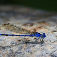 Blue Damselfly (Male Vivid Dancer), Лос-Альтос