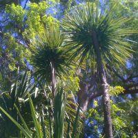 Palm & Elm trees-Los Gatos, Лос-Гатос