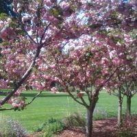Kanzan Cherry Trees, Лос-Гатос