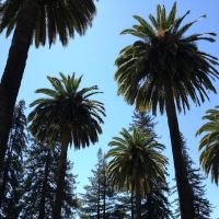 Los Gatos-California Redwoods & Canary Island Palms, Лос-Гатос