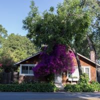 Bougainvillea in Los Gatos, Лос-Гатос