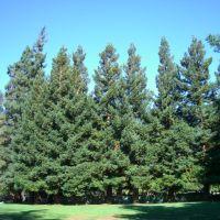 stand of trees along a fence, Моунтайн-Вью