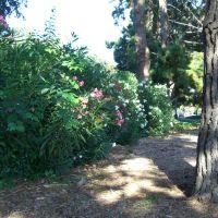flowering bush, Моунтайн-Вью