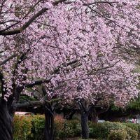 Rengstorff bus stop with cherry bloom, Моунтайн-Вью