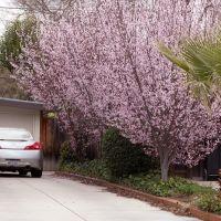 Cherry bloom and a palm, Mountain View, Моунтайн-Вью