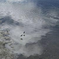 waterfowl, Napa river, Напа