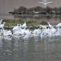 Summer Feast Egrets and Pelicans, Новато