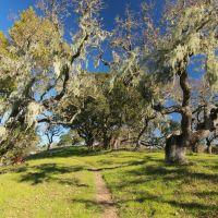 CALIF OAK TREES, Новато