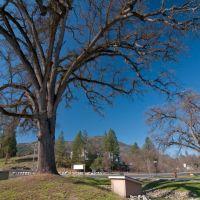 One of many Oak Trees in Oakhurst, 3/2011, Оливхарст