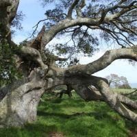 The climbing tree, Петалума